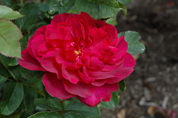 Darcey Bussell Rose (Rosa 'Darcey Bussell') at Roger's Gardens