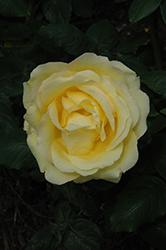 Easy Going Rose (Rosa 'HARflow') at Roger's Gardens