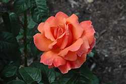 Easy Does It Rose (Rosa 'Easy Does It') at Roger's Gardens