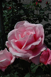 Bewitched Rose (Rosa 'Bewitched') at Roger's Gardens