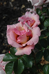 Eyeconic Pink Lemonade Rose (Rosa 'SPRolempink') at Roger's Gardens