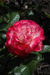 Love At First Sight Rose (Rosa 'WEKmedatasy') at Roger's Gardens