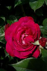Wild Blue Yonder Rose (Rosa 'Wild Blue Yonder') at Roger's Gardens