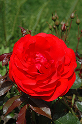 Trumpeter Rose (Rosa 'Mactru') at Roger's Gardens