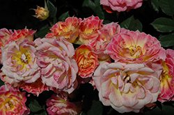 Tiddly Winks Rose (Rosa 'Tiddly Winks') at Roger's Gardens
