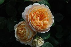 Crown Princess Margareta Rose (Rosa 'Crown Princess Margareta') at Roger's Gardens