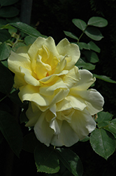 Carefree Sunshine Rose (Rosa 'Carefree Sunshine') at Roger's Gardens