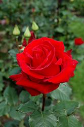 Veteran's Honor Rose (Rosa 'Veteran's Honor') at Roger's Gardens