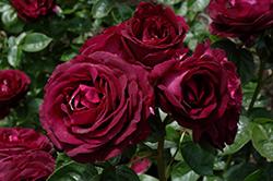 Twilight Zone Rose (Rosa 'WEKebtidere') at Roger's Gardens