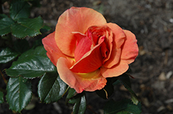 Anna's Promise Rose (Rosa 'WEKdoofat') at Roger's Gardens