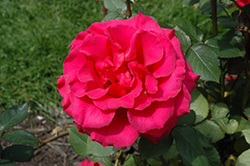 Fame! Rose (Rosa 'Fame!') at Roger's Gardens