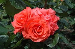 Marmalade Skies Rose (Rosa 'Marmalade Skies') at Roger's Gardens