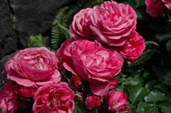 Queen Of Elegance Rose (Rosa 'WEKjucstokol') at Roger's Gardens