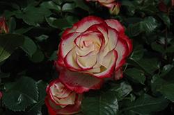 Cherry Parfait Rose (Rosa 'Cherry Parfait') at Roger's Gardens
