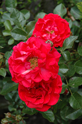 Cherry Frost Rose (Rosa 'Overedclimb') at Roger's Gardens