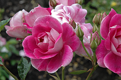 Brilliant Pink Iceberg Rose (Rosa 'Brilliant Pink Iceberg') at Roger's Gardens