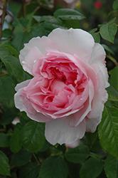 The Wedgwood Rose (Rosa 'Ausjosiah') at Roger's Gardens