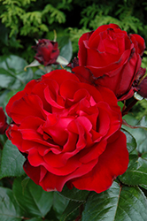 Black Cherry Rose (Rosa 'JACreflo') at Roger's Gardens