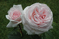 Francis Meilland Rose (Rosa 'Meitroni') at Roger's Gardens