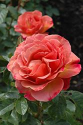 Pumpkin Patch Rose (Rosa 'Pumpkin Patch') at Roger's Gardens