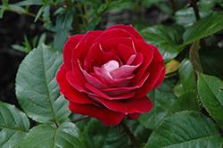 Take It Easy Rose (Rosa 'WEKyoopedko') at Roger's Gardens