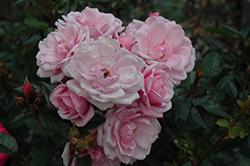 Flower Carpet Appleblossom Rose (Rosa 'Flower Carpet Appleblossom') at Roger's Gardens