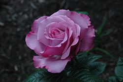 Neptune Rose (Rosa 'WEKhilpurnil') at Roger's Gardens