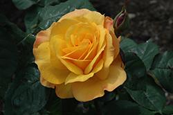 Good As Gold Rose (Rosa 'WEKgobafa') at Roger's Gardens