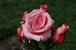 Paris D'Yves St. Laurence Rose (Rosa 'Meivamo') at Roger's Gardens