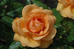 South Africa Sunbelt Rose (Rosa 'KORberbeni') at Roger's Gardens