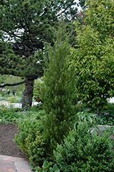 Spearmint Juniper (Juniperus chinensis 'Spearmint') at Roger's Gardens
