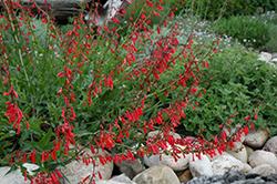 Firecracker Penstemon (Penstemon eatonii) at Roger's Gardens