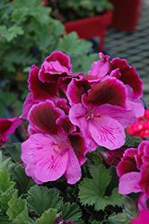 Elegance Lilac Majesty Geranium (Pelargonium 'Elegance Lilac Majesty') at Roger's Gardens