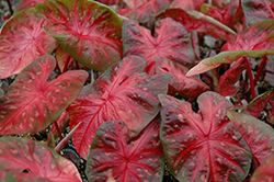 Red Flash Caladium (Caladium 'Red Flash') at Roger's Gardens