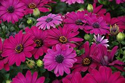 Serenity Dark Purple African Daisy (Osteospermum 'Serenity Dark Purple') at Roger's Gardens