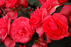 Solenia Dark Pink Begonia (Begonia x hiemalis 'Solenia Dark Pink') at Roger's Gardens