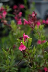 Wild Thing Autumn Sage (Salvia greggii 'Wild Thing') at Roger's Gardens