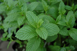 The Best Spearmint (Mentha spicata 'The Best') at Roger's Gardens