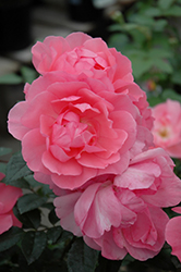Passionate Kisses Rose (Rosa 'Meizebul') at Roger's Gardens