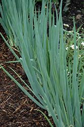 Spring Onion (Allium fistulosum) at Roger's Gardens