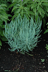 Blue Chalk Sticks (Senecio serpens) at Roger's Gardens