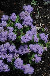 Blue Danube Flossflower (Ageratum 'Blue Danube') at Roger's Gardens