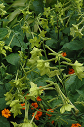Lime Green Flowering Tobacco (Nicotiana 'Lime Green') at Roger's Gardens