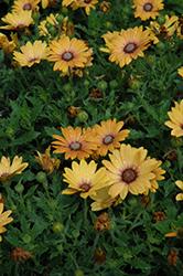 Zion Magic Orange African Daisy (Osteospermum 'Zion Magic Orange') at Roger's Gardens