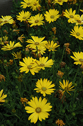 Zion Pure Yellow African Daisy (Osteospermum 'Zion Pure Yellow') at Roger's Gardens