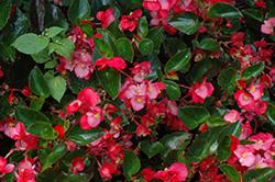Big Rose Green Leaf Begonia (Begonia 'Big Rose Green Leaf') at Roger's Gardens