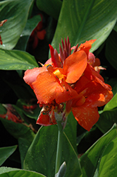 Cannova Red Canna (Canna 'Cannova Red') at Roger's Gardens
