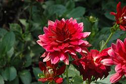 XXL Taxco Red Dahlia (Dahlia 'XXL Taxco Red') at Roger's Gardens