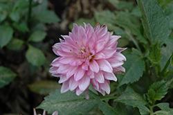 XXL Aztec Chiapas Purple Dahlia (Dahlia 'XXL Chiapas Purple') at Roger's Gardens