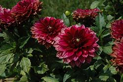Dahlinova Hypnotica Red Velvet Dahlia (Dahlia 'Hypnotica Red Velvet') at Roger's Gardens